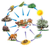 Food chain. Vector illustration of forest food chain Royalty Free Stock Photography