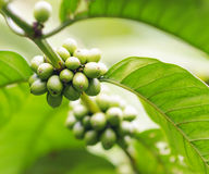 Coffee beans on the branch. Robusta Coffee Stock Image