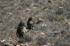 Food-finders. Chacma baboons foraging in the Karoo National Park, South Africa on December, 2016 Stock Image