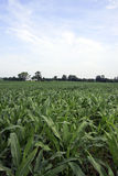 Food or fuel. Vast cornfield in midwest America Royalty Free Stock Photo