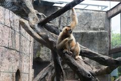 Food-Gibbon-Hylobatidae. Gibbon: a generic term for primates and a family of 4 genera and 16 species. It is named because of its long arm. There are calluses on Royalty Free Stock Image