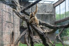 Food-Gibbon-Hylobatidae. Gibbon: a generic term for primates and a family of 4 genera and 16 species. It is named because of its long arm. There are calluses on Stock Photo