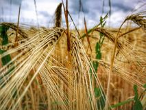 Food Grain, Barley, Cereal, Wheat royalty free stock images