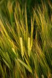 Food Grain, Barley, Grass Family, Rye stock photography