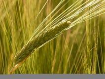 Food Grain, Barley, Triticale, Hordeum stock photo