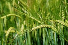 Food Grain, Field, Barley, Triticale Stock Images