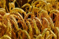 Food Grain, Grain, Grass Family, Wheat stock photos