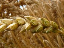 Food Grain, Grass Family, Cereal, Grain Stock Images