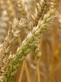 Food Grain, Grass Family, Wheat, Grain stock image