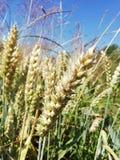 Food Grain, Grass Family, Wheat, Plant stock photo
