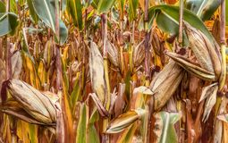 Food Grain, Maize, Commodity, Grass Family
