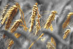 Food Grain, Rye, Grass Family, Close Up stock photos