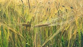 Food Grain, Triticale, Barley, Hordeum stock image