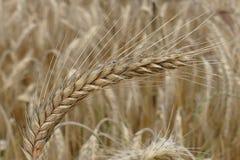 Food Grain, Triticale, Wheat, Rye royalty free stock image