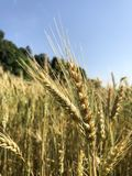 Food Grain, Triticale, Wheat, Rye royalty free stock images