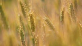 Food Grain, Wheat, Barley, Field stock photography