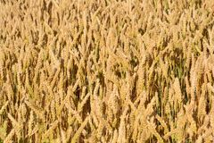 Food Grain, Wheat, Grass Family, Field royalty free stock image