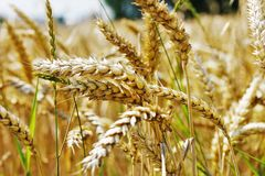 Food Grain, Wheat, Grass Family, Grain stock images