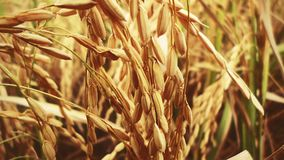 Food Grain, Wheat, Grass Family, Grain royalty free stock photos
