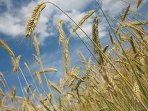 Food Grain, Wheat, Grass Family, Triticale Stock Photography