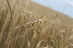Food Grain, Wheat, Rye, Grass Family stock photos