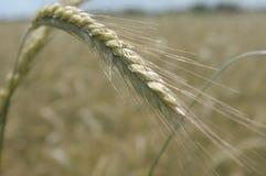 Food Grain, Wheat, Rye, Triticale stock image