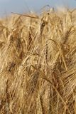 Food Grain, Wheat, Triticale, Barley royalty free stock image