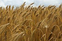 Food Grain, Wheat, Triticale, Crop royalty free stock photo