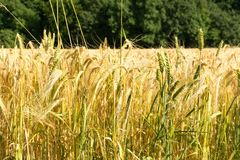 Food Grain, Wheat, Triticale, Crop royalty free stock photography