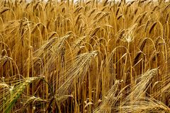 Food Grain, Wheat, Triticale, Grain stock photography