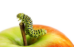 Green caterpillar on red apple Royalty Free Stock Image