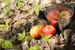 Food. Harvesting. A bucket of fruit in the garden on a stump, ne Stock Photos