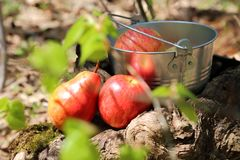Food. Harvesting. A bucket of fruit in the garden on a stump, ne stock image