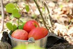 Food. Harvesting. A bucket of fruit in a sunny garden on a stump Royalty Free Stock Image