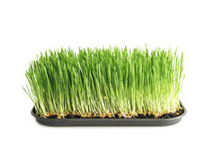 Food: homegrown wheat grass on white Royalty Free Stock Photography