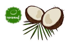 Cartoon drawn coconut on green palm leaf isolated on white. royalty free illustration