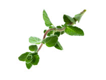 Food  ingredient Oregano Stock Photos