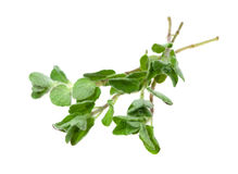 Food  ingredient  plant Oregano Stock Photos