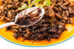 Food insect Royalty Free Stock Images