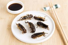 Food Insects: Crickets insect fried crispy for eating as food items is good source of meal high protein edible in plate with royalty free stock images