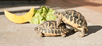 Food? No thanks, sex is better!. Couple of turtles in love. They are not attracted to fresh food Royalty Free Stock Photo