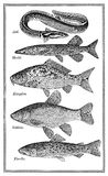 Food, old fish chart. Old fish chart with variety of eatable fishes Stock Photos