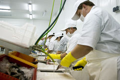 Food processing line. Production line of food processing factory, workers cutting fish royalty free stock image