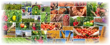 Food Production - Farming - Agriculture Collage. Collage of images presenting agriculture - food production: tomato, potato, bell pepper , lettuce, onion, corn royalty free stock photo