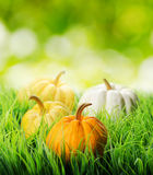 Pumpkins in green grass on natural background Royalty Free Stock Photography