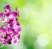 Purple and white orchid flowers  Royalty Free Stock Photo