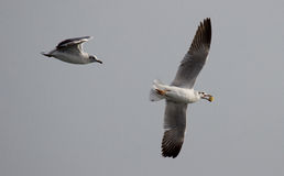 Food Race. Gulls are resident as well as migratory to india and gujarat. Here two gulls are chasing each other for their food catch up stock image