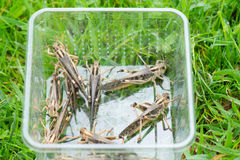 Food for reptiles. Crickets as food for reptiles Stock Photo