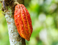 Ripe cacao bean on the wood Royalty Free Stock Image
