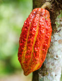 Ripe cacao bean on the wood Stock Photos